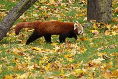 Panda ruda